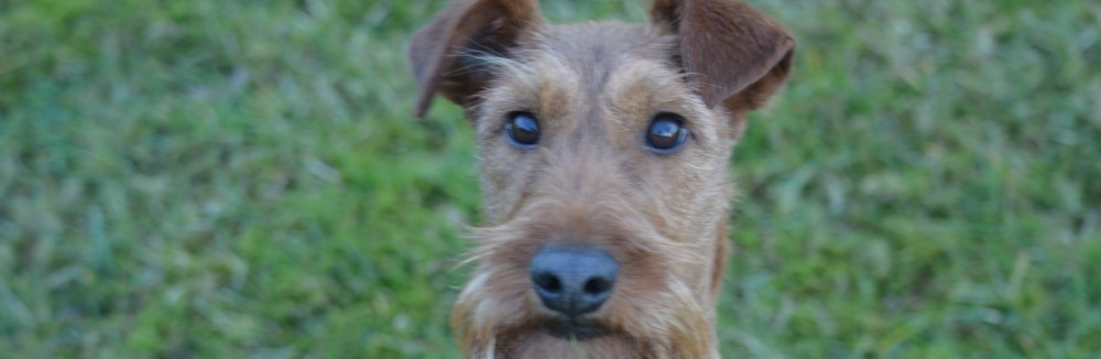 Irish Terrier Harsewinkel
